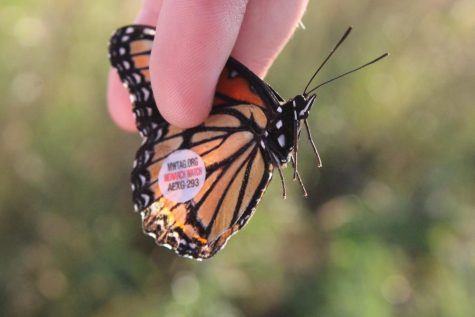 Monarch Migration Makes Its Way Through Gardner